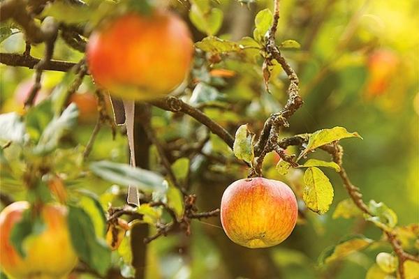 Organizujú dva zaujímavé kurzy prírodného ovocinárstva s Ľudovítom Vaššom